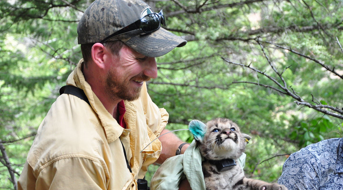 Wildlife biologist Pete Alexander '94 with a newly radio-collared and ear-tagged cougar kitten. RUSTY SMITH