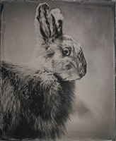 Varying Hare